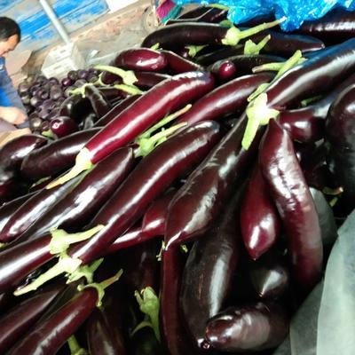 山东省聊城市莘县紫长茄 40cm以上 长茄