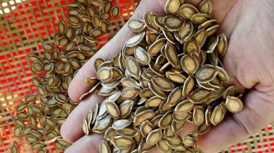 江西省上饶市鄱阳县香如蜜种子