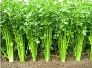 河南省商丘市夏邑县美国西芹 50~55cm 1.5~2.0斤 大棚种植