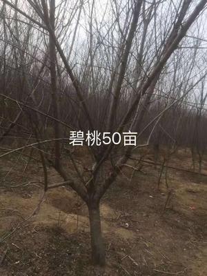 江苏省徐州市贾汪区红叶碧桃