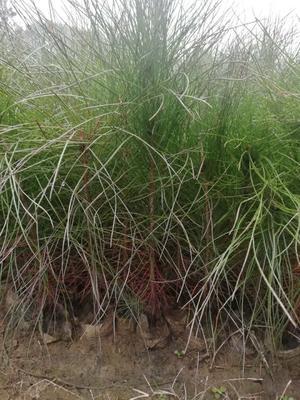 安徽省六安市霍山县湿地松树苗