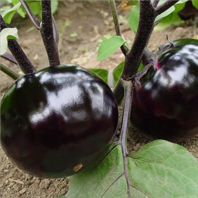 山东省潍坊市寿光市茄子种子 杂交种 ≥95%