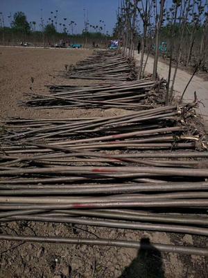 山东省泰安市岱岳区香椿 米径3-5公分香椿树