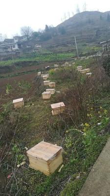 贵州省毕节市大方县中蜂