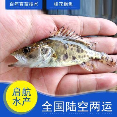 广东省惠州市博罗县翘嘴鳜 人工养殖 0.8斤以下