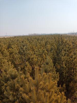 内蒙古自治区鄂尔多斯市达拉特旗樟子松