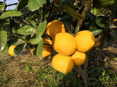 广西壮族自治区河池市宜州市建阳桔柚 1斤以下
