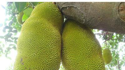 海南省海南省文昌市海南菠萝蜜 15斤以上