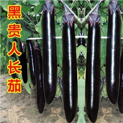 四川省凉山彝族自治州甘洛县茄子种子  ≥95% 杂交种 零售