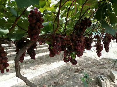 江西省萍乡市上栗县夏黑葡萄阳光玫瑰葡萄 1-1.5斤 5%以下 1次果