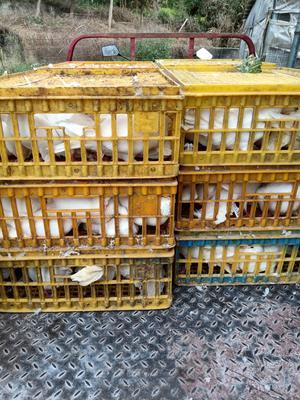 广东省惠州市惠城区肉鸽肉 新鲜