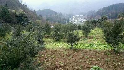 贵州省遵义市汇川区南方红豆杉 0.5米以下
