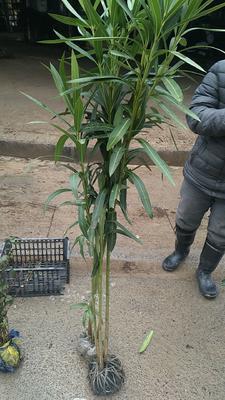 浙江省杭州市萧山区夹竹桃 1.0~1.5米 2公分以下 2~4公分