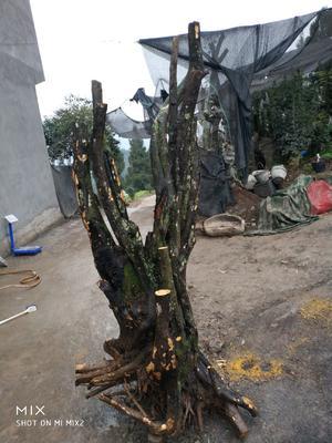 四川省泸州市古蔺县金弹子 35公分以上