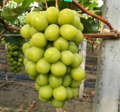 山东省潍坊市寒亭区阳光玫瑰 1-1.5斤 5%以下 1次果