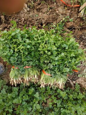陕西省西安市临潼区小叶香菜 30~35cm