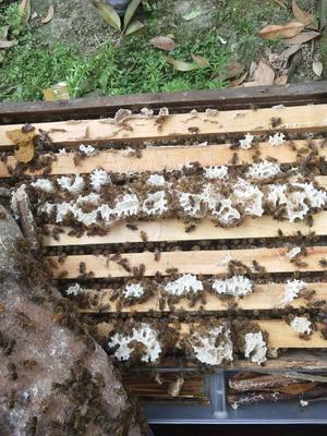 四川省成都市新都区中蜂 蜜蜂 阿坝中蜂