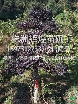 湖南省株洲市荷塘区西洋杜鹃 2.0~2.5米