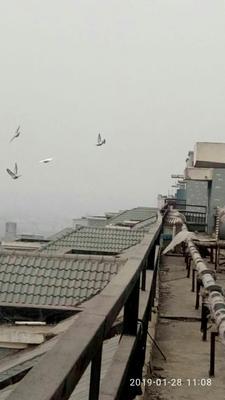 河南省郑州市新郑市信鸽 400-500克
