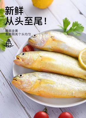 山东省烟台市莱州市大黄鱼 野生 1-1.5公斤 可代发