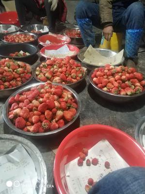江苏省南通市海门市红颜草莓 20克以上
