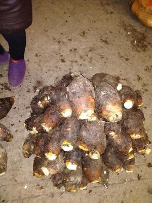 广西壮族自治区桂林市七星区荔浦芋头 5cm以上