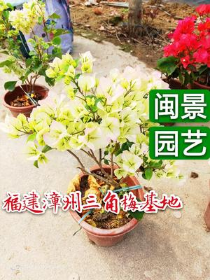 福建省漳州市龙海市绿樱三角梅 0.2~0.5米
