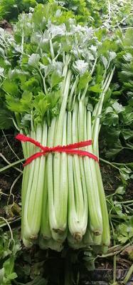 河南省开封市通许县西芹 45~50cm 0.5~1.0斤 大棚种植