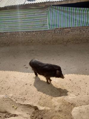 广东省深圳市龙岗区黑香猪 20斤以下
