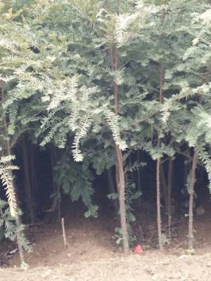 湖北省恩施土家族苗族自治州鹤峰县南方红豆杉 0.5~1米
