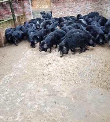 江西省吉安市遂川县藏香猪 100斤以上