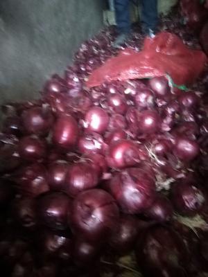 黑龙江省齐齐哈尔市梅里斯达斡尔族区红皮洋葱 9cm以上