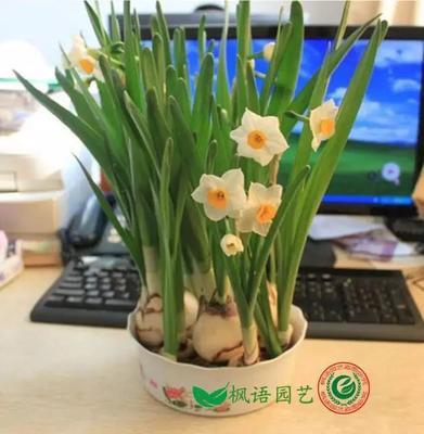 江苏省宿迁市沭阳县漳州水仙