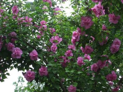山东省泰安市岱岳区红花木槿树