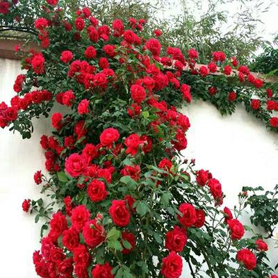 山东省临沂市郯城县红花蔷薇 爬墙梅 花色艳丽