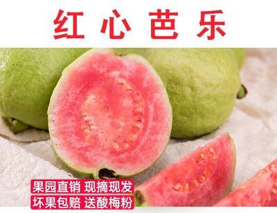 福建省漳州市南靖县红心芭乐 一件代发21.8
