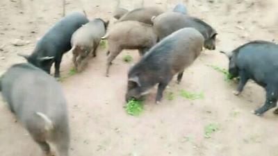 四川省巴中市平昌县特种野猪 100斤以上 公
