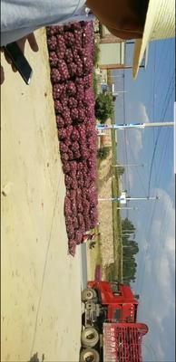 云南省红河哈尼族彝族自治州建水县红皮洋葱 7~8cm