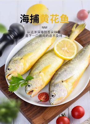 山东省烟台市莱州市大黄鱼 野生 1-1.5公斤