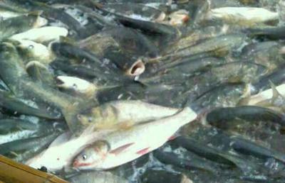 湖南省郴州市永兴县白鲢鱼  0.25-1公斤 人工养殖 鱼苗,0.6斤每尾