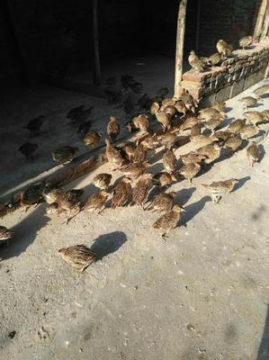 河南省郑州市中牟县七彩山鸡 1斤以下