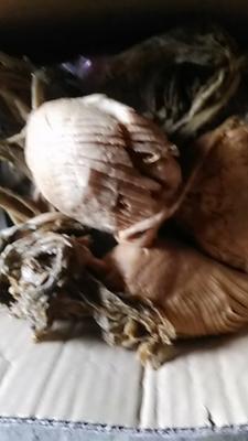 贵州省黔东南苗族侗族自治州黎平县菜头干 2-3个月