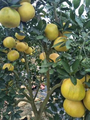 葡萄柚苗 黄肉甜葡萄柚