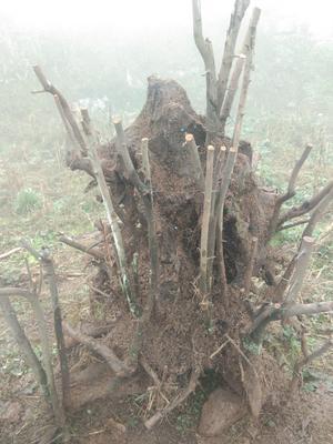 贵州省毕节市七星关区造型金弹子