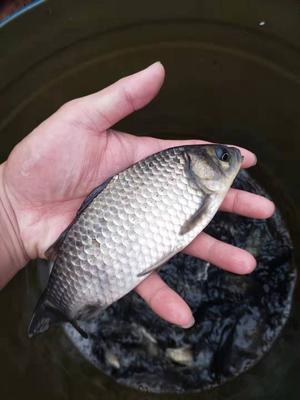重庆合川区土鲫鱼 人工养殖 0.1公斤