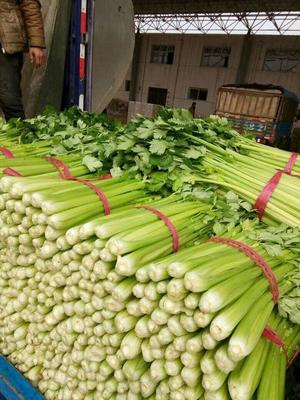 河北省邯郸市丛台区皇妃芹菜  50~55cm 1.0~1.5斤 大棚种植 河北南部蔬菜基地