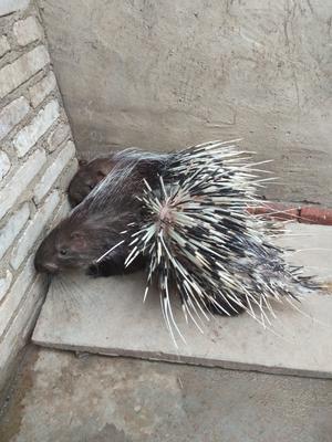 广东省茂名市高州市中华豪猪 20-30斤
