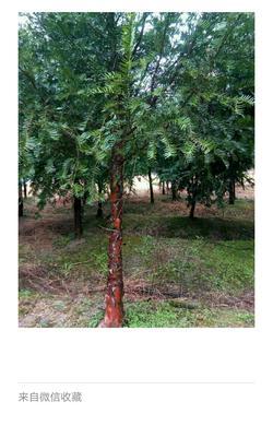 湖南省长沙市长沙县南方红豆杉 3~3.5米