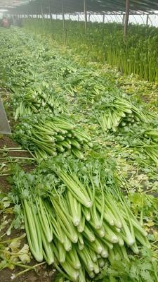 山东省济宁市金乡县法国皇后芹菜 55~60cm 0.5~1.0斤 大棚种植