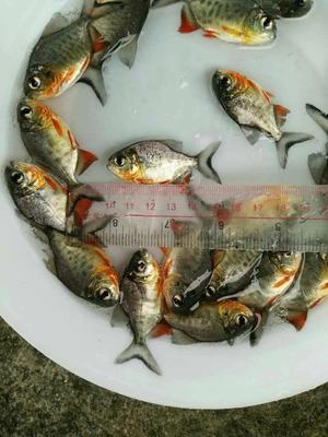 广东省广州市增城区白鲳 人工养殖 0.5公斤以下